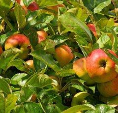 pixabay-apple-tree-1610345.jpg