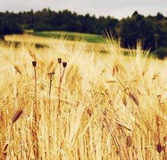 pixabay-cornfield-2157210.jpg