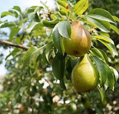 pixabay-pears-1639117.jpg