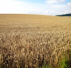 pixabay-wheat-field-1591923.jpg